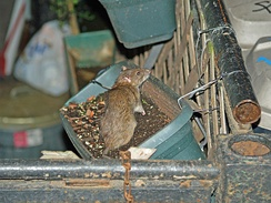 Brown rat in a flower box in the East Village of New York City