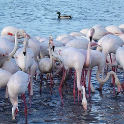 Biologists long suspected cospeciation of flamingos and ducks with their parasitic lice, which were similar in the two families. Cospeciation did occur, but it led to flamingos and grebes, with a later host switch of flamingo lice to ducks.