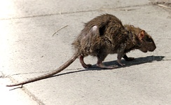 A rat in a city street