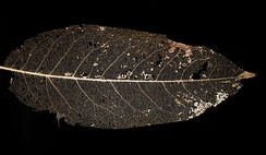 Vein skeleton of a leaf. Veins contain lignin that make them harder to degrade for microorganisms.
