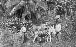 Transport of banana crop, Jamaica, 1894