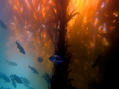 Scuba diving in a kelp forest in California.
