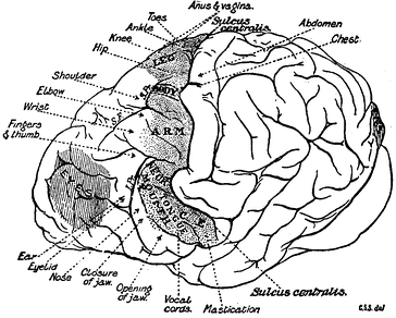 Diagram of brain – topography of the main groups of foci in the motor field of chimpanzee