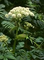 Angelica, containing phytoestrogens, has long been used to treat gynaecological disorders.
