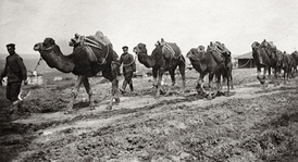 A camel caravan of the Bulgarian 17th Regiment carrying supplies for the Çatalca operation, 1912