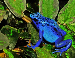 The blue poison dart frog is endemic to Suriname.