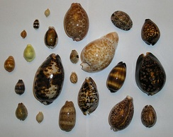 Cowrie shells were used as money in the slave trade
