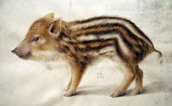 A European wild boar piglet, painted by Hans Hoffman in 1578. Note the stripes, a characteristic feature of piglets.