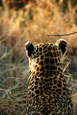 Female showing white spots on the back of the ears (ocelli) used to communicate with other leopards.[74]