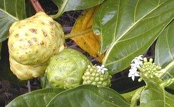 In some plants, such as this noni, flowers are produced regularly along the stem and it is possible to see together examples of flowering, fruit development, and fruit ripening.