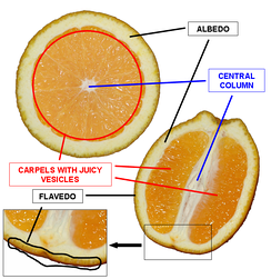 Cross-section of an orange. The flavedo is zested; the bitter white albedo or pith is generally not used.