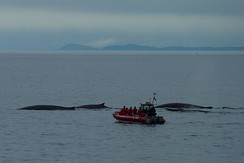 Watching fin whales off Tadoussac