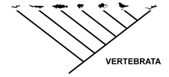 The same relationship, expressed as a cladogram typical for cladistics