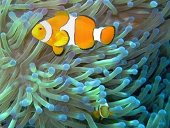 Ocellaris clownfish and Ritter's sea anemones is a mutual service-service symbiosis, the fish driving off butterfly fish and the anemone's tentacles protecting the fish from predators.
