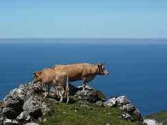 Galician Blond cows