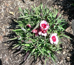 Dianthus chinensis has a caespitose growth habit.