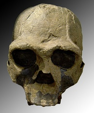 KNM-ER 3733 (1.6 Mya, discovered 1975 at Koobi Fora, Kenya)