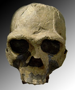 Replica of fossil skull of Homo ergaster (African Homo erectus). Fossil number Khm-Heu 3733 discovered in 1975 in Kenya.