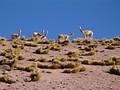 Ламы в пустыне Атакама