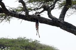 Прекрасно лазая по деревьям, леопард часто затаскивает добычу на высокие ветки, где до неё не добраться другим хищникам.