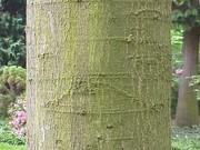 Quercus ambigua1.jpg