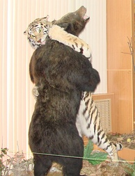 Taxidermy exhibit portraying a brown bear fighting a Siberian tiger, Vladivostok Museum
