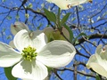 Dogwood species Cornus florida inflorescence showing four large white bracts and central flower cluster.