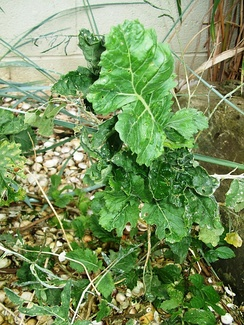 Lundy cabbage (growing at Bristol Zoo)