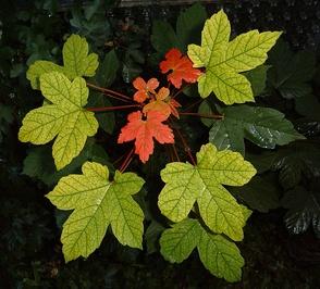 Листья явора, или клёна белого