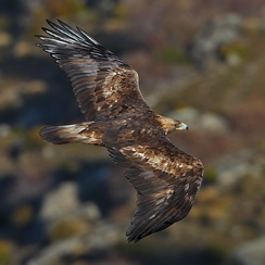 In Spain, golden eagles such as this one in the Province of Ávila are sedentary.