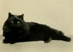 Персидская чёрная кошка