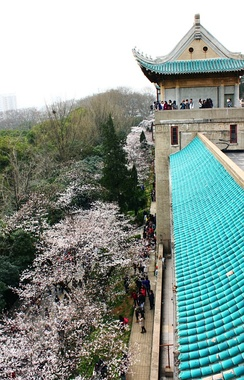 Cherry blossoms in Wuhan University
