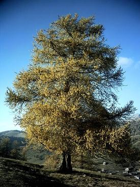 Лиственница европейская. Типовой вид рода. Общий вид взрослого растения