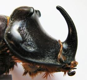 Oryctes nasicornis 23.JPG