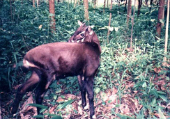 The saola, one of the world's rarest mammals, is native to Vietnam.