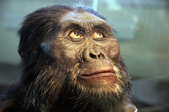 Forensic reconstruction of A. afarensis.[30]