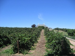 Wine grape vines in the Barossa Valley