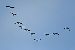 A flock of Canada geese in V formation