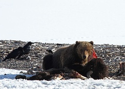 A grizzly bear feasts on a bison carcass in Yellowstone