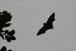 Крыланы кормятся ночью, чтобы избежать хищников.