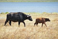 Корова с телёнком в Нгоронгоро