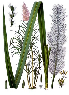 Saccharum officinarum