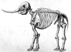 Drawing of a mastodon skeleton by Rembrandt Peale