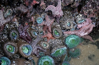 The site of a tide pool in Santa Cruz, California showing sea stars, sea anemones, and sea sponges.