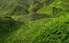 A tea plantation in the Cameron Highlands in Malaysia