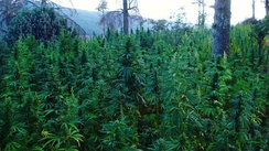 Cannabis Fields in Ketama Tidighine mountain, Morocco