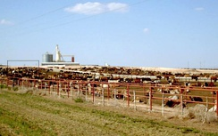 Beef cattle on a feedlot in the Texas Panhandle. Such confinement creates more work for the farmer but allows the animals to grow rapidly.