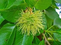 Соцветие женского дерева
