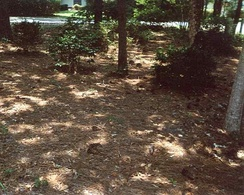 Natural landscaping with pine leaf litter mulch