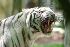 The Bengal tiger's large canines and strong jaws reveal its place as an apex predator